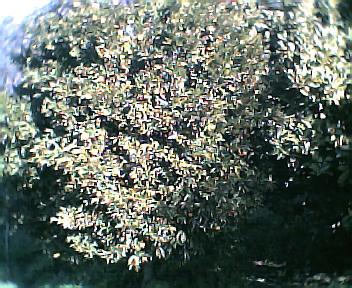 Tangerineira no Sábado, 1 de Janeiro de 2005